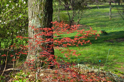 If I could spell, I would tell you the name... I can't .  This is suppose the be the reddest of the red Jap. maples
