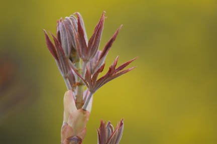 Watching emerging  leaves, Aesculus flava, the yellow buckeye... our favorite spring excitement