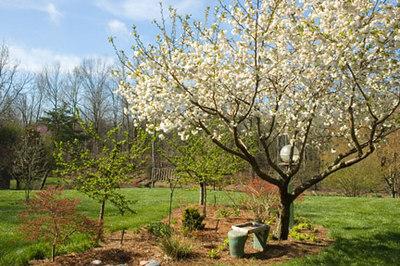 Back yard Cherry... Prunus 'Shirotae'