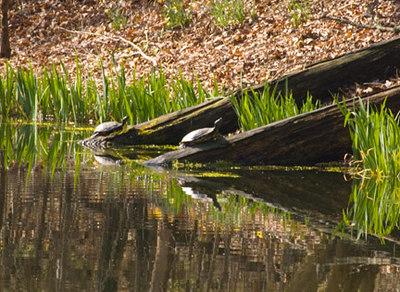 Turtles sunning