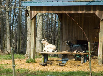 Bonnie and SweetGum... two of the remaining three goats in our little herd.