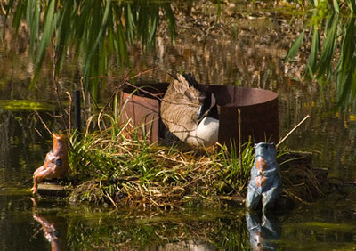Mrs. Goose enjoying her new nest... We read where geese can live 40 years.  This pair has been coming annually for many years now to nest in this floating platform we built on our pond.
