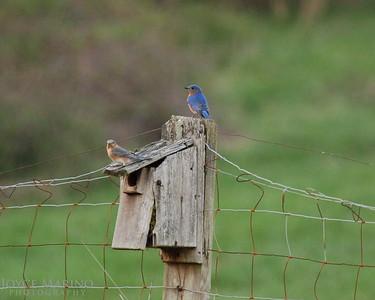 Bluebirds -- DSC_0120