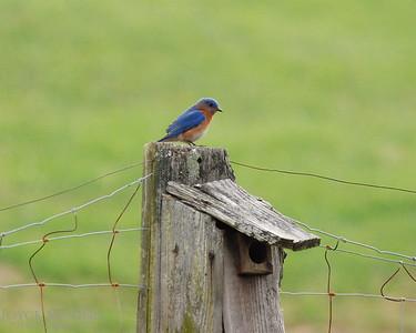 Bluebird -- DSC_0255