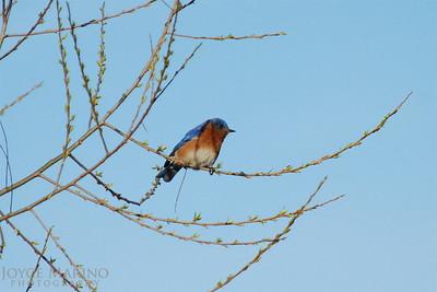 Bluebird in Spring DSC_0294