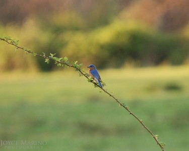 Bluebird DSC_0134-1