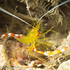 Yellow coral shrimp