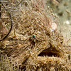 striated frogfish (female)