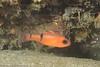 -belted cardinalfish-IMG_3037