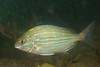 -Pinfish-IMG_2788