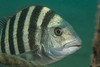 -Sheepshead head-IMG_3071
