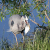 Great Blue Heron<br /> Boulder County,Colorado