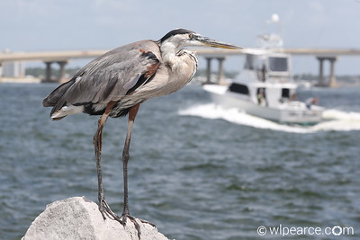 Great Blue Heron with the vacation background.  Perdido Pass, AL