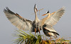 What a majestic bird!  A nesting pair in the Viera Wetlands, Melbourne, FL
