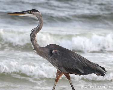 A beach combing Great Blue Heron.  Perdido Beach, AL