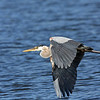 Blue Heron in flight<br /> Boulder County,Colorado