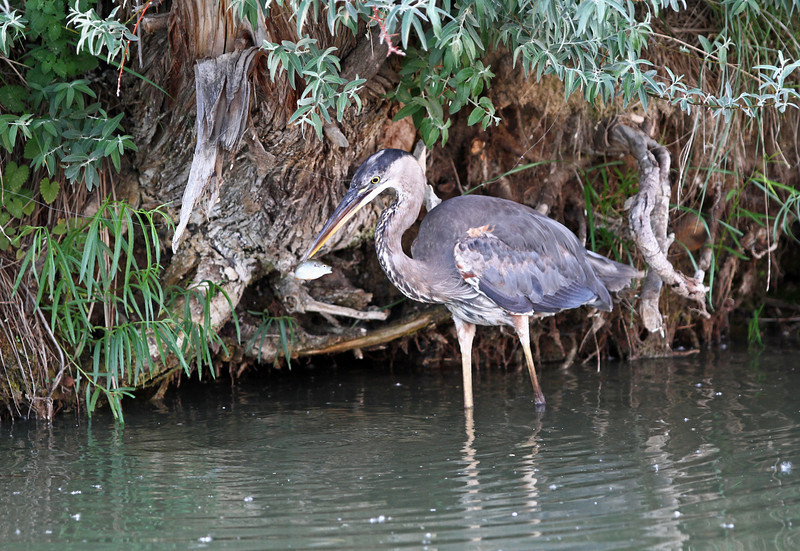 Blue Heron.<br /> Boulder County,Colorado..series
