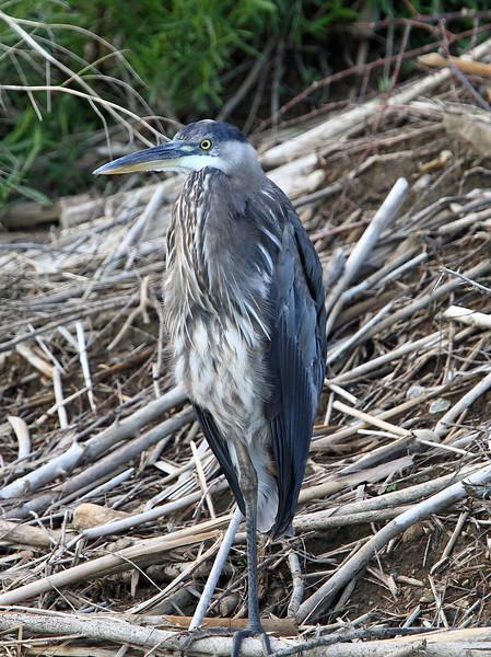 Great Blue Heron<br /> Boulder County,Colorado