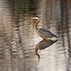 Blue Heron in s shallow pond.