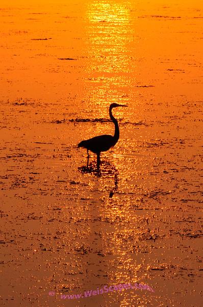 Sunrise at Lake Erie Metro Park, Blue Heron