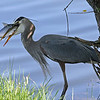 Blue Heron,<br /> Boulder County,Colorado