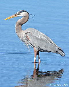 Great Blue Heron.  Merritt Island NWR