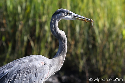 Great Blue Heron, Pottsburg Creek, Florida.  You've heard of the Chinese Finger Trap, right?  Here's the Blue Heron version.