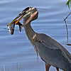 Blue Heron Fishing.<br /> Boulder County,Colorado
