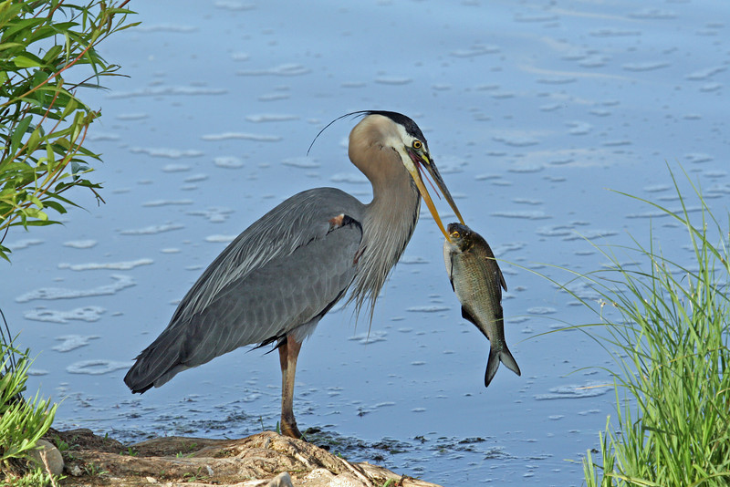 Blue Heron<br /> Boulder County,Colorado