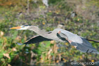 A majestic flier.  Wakodahatchee Wetlands.