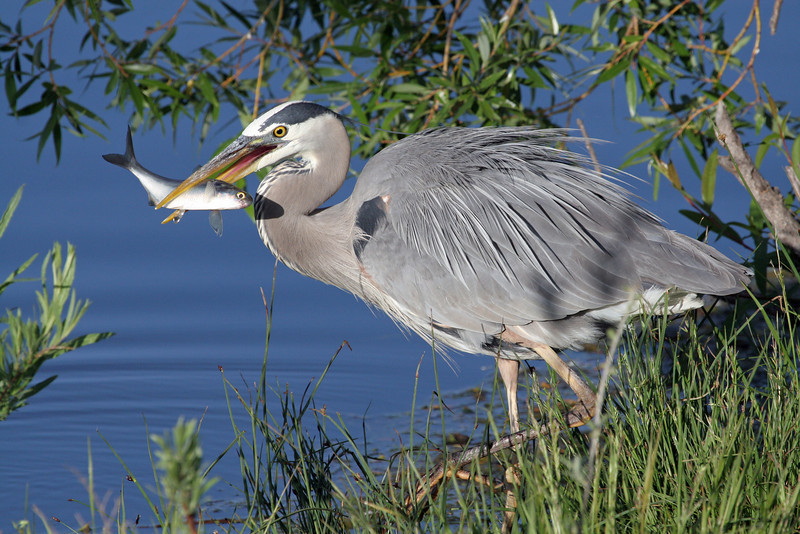 Blue Heron .<br /> Boulder County,Colorado