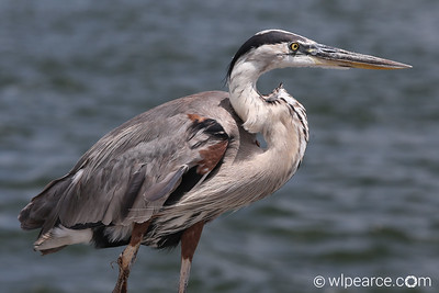 Great Blue Heron relaxing on the jetties at Perdido Pass, AL