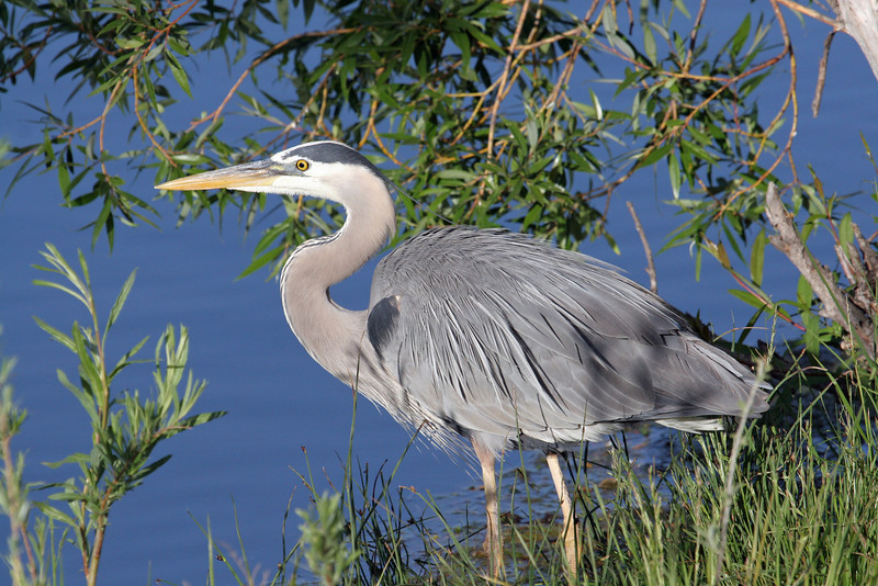 Blue Heron.<br /> Boulder County,Colorado