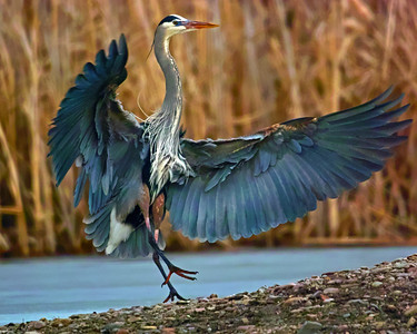 Blue Herron in Action