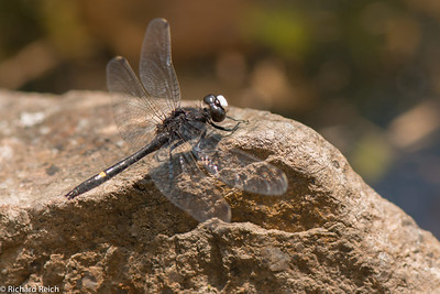 Dot-tailed Whiteface (Leucorrhinia intacta) Dragon Fly Blue Hills Reservation, Milton, MA