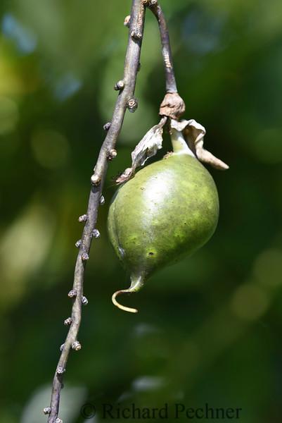 Blue Jade Vine Seedpod