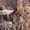Ring-neck Snake (Diadophis punctatus)