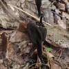 Velvety Black Earth Tongue fungus (Trichoglossum hirsutum)