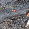 Eyelash Cup fungus (Scutellinia scutellata)