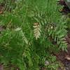 Royal Fern (Osmunda spectabilis)