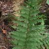 Southern Lady Fern (Athyrium asplenoides)