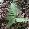 Broad Beech Fern (Phegopteris hexagonoptera)