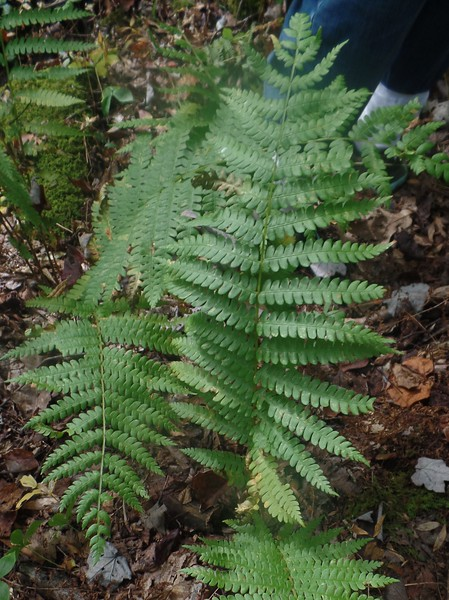 Evergreen Wood Fern (Dryopteris intermedia)