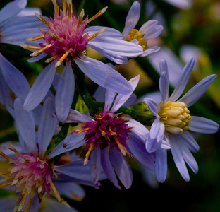 Heart-Leaved Asters just off the Blue Ridge Parkway