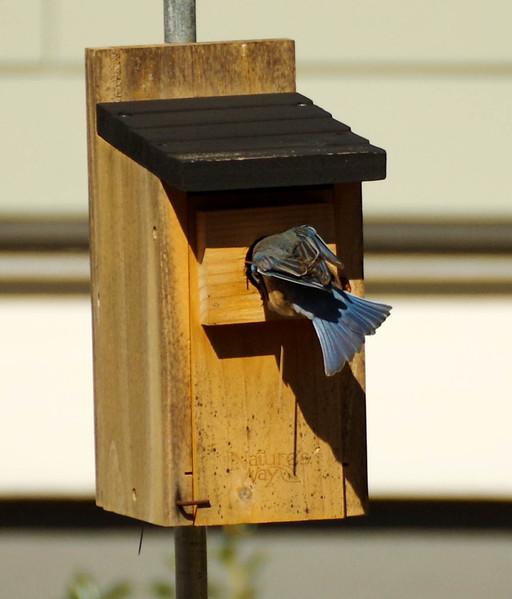 blue birds 2017
