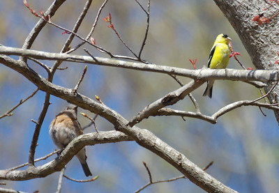 Hey there finch,  what are you doing there?  That branch  is for Daddy Bluebird.