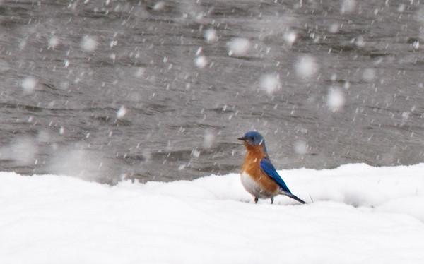 BlueBirds in the Snow