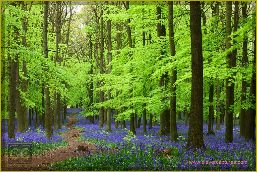 Bluebells in Dockey Wood Brecon Beacons England. A surreal environment awaits visitors as they step from the regular world into this one. The new green leaves and the brilliance of the bluebells are absolutely amazing.