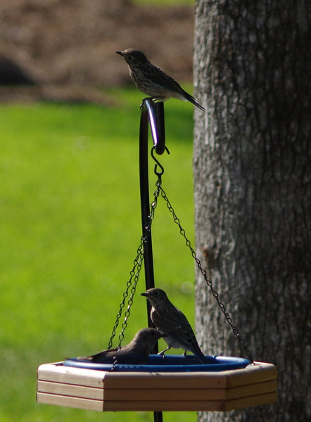 All Three Bluebird  fledglings brood one