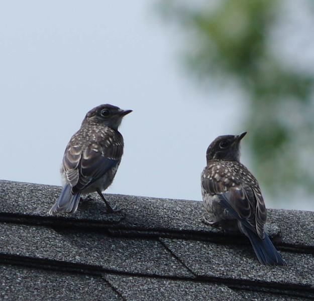 Brood two fledlings